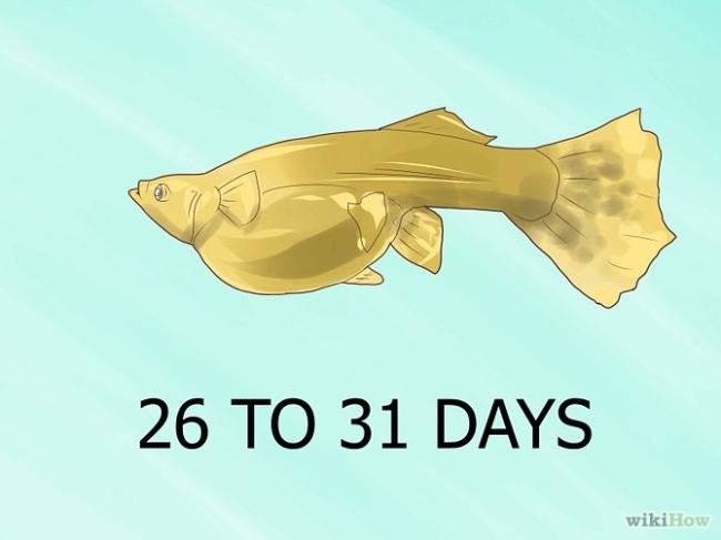GUPPY BREEDING! | How to breed a GUPPY! Guppy Fish Eggs In Tank